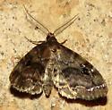 unknown moth - Melanomma auricinctaria - male