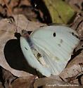 Giant White - Ganyra josephina