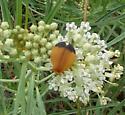 Fernandez's Net-Wing Beetle - Lycus fernandezi