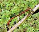 Coenagrionidae 2 - Telebasis salva - male