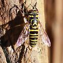 Tiger Eye Chevron  Fly - Dorsal - Spilomyia longicornis - male