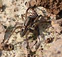 Carolina Wolf Spider??? - Schizocosa