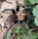 Tarantula Spider 060117ccok - Aphonopelma