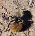 Velvet Ant - Dasymutilla - female