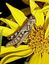 brown grasshopper - Melanoplus plebejus - female