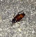 American Cockroach? - Blatta orientalis