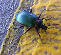 Fiery Seacher parked on the roof - Calosoma scrutator