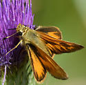 Woodland Skipper - Ochlodes sylvanoides