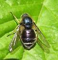 acrocerid - Eulonchus tristis