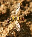 Tiny Syrphid - Allograpta obliqua