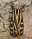 Anna Tiger Moth - Hodges#8176 (Grammia anna) - Grammia anna