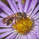 Apoid Wasps (Apoidea)- ID please - Nomada fervida