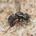 Bee Fly - Paracosmus edwardsii - female
