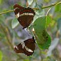 White admirals - Limenitis arthemis