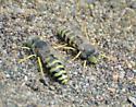 Sand wasps? - Bembix americana