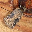 Moth - Agonopterix pulvipennella