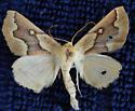 Unknown Moth 1 - Sabulodes edwardsata