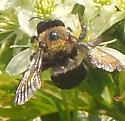 Enormous Bumble Bee? - Xylocopa virginica