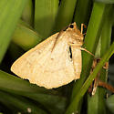 Least-marked Euchlaena - Hodges#6739 - Euchlaena irraria - male