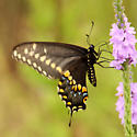 Black Swallowtail - Papilio polyxenes - male