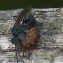 Spider Wasp - Auplopus architectus