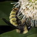 Unknown bumble bee (Bombus fervidus?) - Bombus pensylvanicus