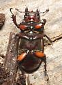 Reddish-brown Stag Beetle, ventral - Lucanus capreolus - female