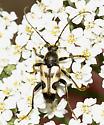Flower Longhorn - Judolia cordifera
