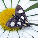 Moth on a Daisy - Anania funebris