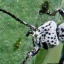 Epicauta sp blister beetle, spotted head - Epicauta andersoni