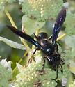 Black wasp - Isodontia apicalis