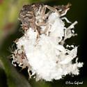Green Lacewings larvae