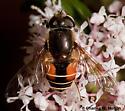 Eristalis sp. - Eristalis bellardii - female