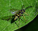 Black and Yellow Wasp - Ceropales
