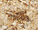 Devastating Grasshopper Nymph - Melanoplus devastator