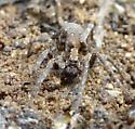 spider - Alopecosa kochi