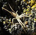 Slender Crab Spider - Tibellus