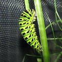Black Swallowtail caterpillar prepupal - Papilio polyxenes