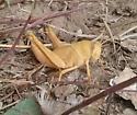 Grasshopper - Schistocerca
