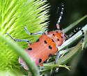 Red-femured Milkweed Beetle (Tetraopes femoratus)? - Tetraopes femoratus