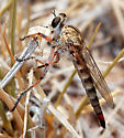 Palominas robber fly - Proctacanthella - female