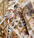 Palominas robber fly - Proctacanthella - female