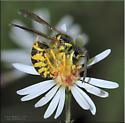 Vespula maculifrons - Vespula
