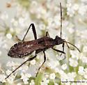 Plant bug - Alydus conspersus