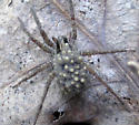 Spider with babies - ID Request