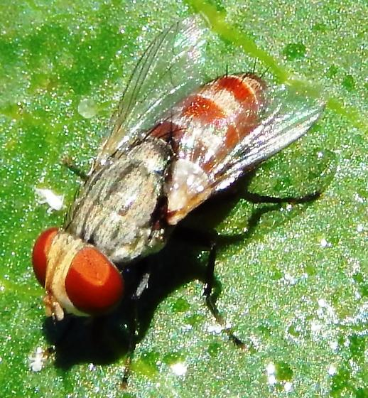 Fly feeding on aphid honeydew - Senotainia