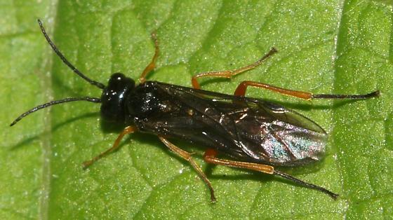 Unknown Hymenoptera - Ametastegia glabrata