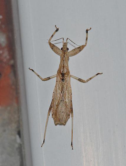 Assassin Bug - Ctenotrachelus shermani