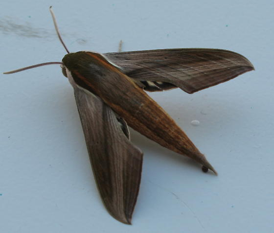 large moth  - Xylophanes tersa