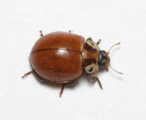 Coccinellidae, (not) Streaked Lady Beetle, dorsal - Myzia pullata
